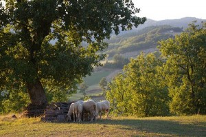 Most small family farms in Umbria still keep a small flock of sheep for fresh ricotta